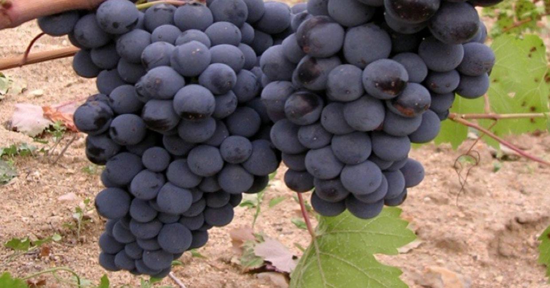 Las Gavias uva