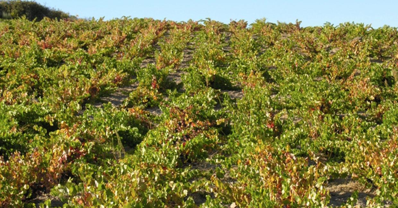Las Gavias viñedo